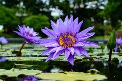 Голубой лотос Стоковое Фото