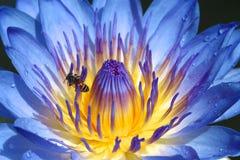 Голубой лотос Стоковая Фотография