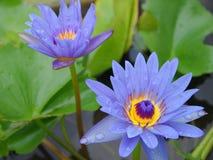 Голубой лотос Стоковые Фото