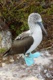 голубой олух footed Стоковые Фотографии RF