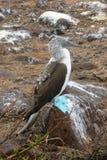 голубой олух footed Стоковая Фотография