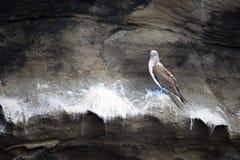 голубой олух footed Стоковое Изображение RF