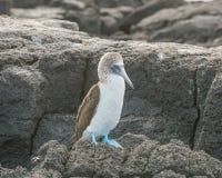 голубой олух footed Стоковые Изображения RF