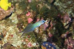 Голубой пескарь Стоковое Фото