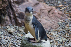 Голубой пингвин Новая Зеландия Стоковое Изображение