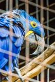 Голубой попугай ары гиацинта в зоопарке Стоковое Фото