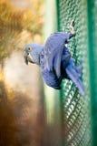 Голубой попугай ары гиацинта Стоковое Изображение