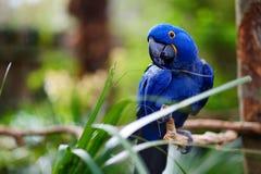 Голубой попугай ары на ветви Стоковые Изображения RF