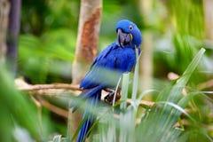Голубой попугай ары на ветви Стоковое Изображение