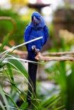 Голубой попугай ары на ветви Стоковое Изображение RF