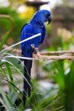 Голубой попугай ары на ветви Стоковые Изображения