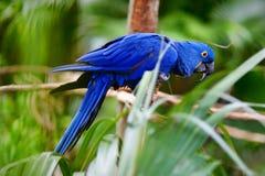Голубой попугай ары на ветви Стоковые Фото