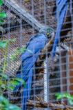 Голубой попугай ары сидя на ветви в Puerto de Ла Cruz, Sant Стоковая Фотография