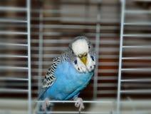 Голубой попугай Стоковая Фотография RF