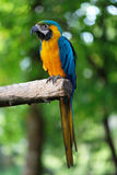 голубой попыгай macaw золота Стоковые Фото