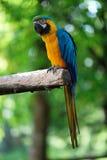 голубой попыгай macaw золота Стоковые Изображения RF