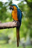 голубой попыгай macaw золота Стоковые Фотографии RF