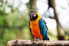 голубой попыгай macaw золота Стоковая Фотография
