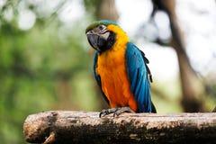 голубой попыгай macaw золота Стоковое Фото