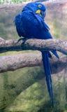 голубой попыгай macaw стоковое фото rf