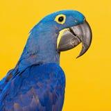Голубой портрет ары гиацинта Стоковое Изображение