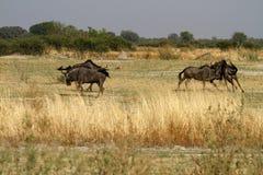 Голубой прокладывать антилопы гну Стоковое Изображение