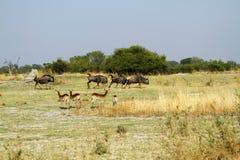 Голубой прокладывать антилопы гну Стоковое Изображение RF