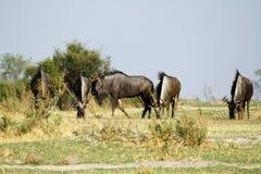 Голубой прокладывать антилопы гну Стоковые Фото