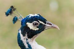 Голубой профиль павлина Стоковые Фотографии RF