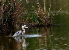Голубой пруд цапли Стоковые Фотографии RF