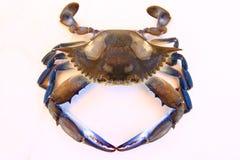 Голубой рак пловца Стоковая Фотография RF