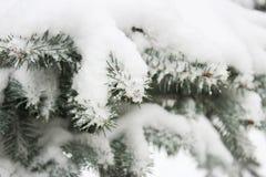 голубой спрус ветви Стоковые Фото