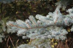 голубой спрус ветви Стоковое Изображение