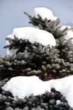 Голубой спрус в сильном снегопаде Стоковые Изображения RF