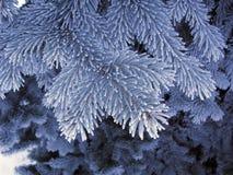 Голубой спрус заморозка, супер игла космоса заморозка Ветви дерева снега белые голубые Стоковые Фото