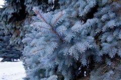 голубой спрус Стоковая Фотография