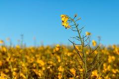 голубой спуск цветет взгляд неба rapeseed лужка Стоковое фото RF