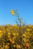 голубой спуск цветет взгляд неба rapeseed лужка Стоковые Фото