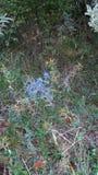 Голубой терний Стоковое Изображение RF