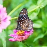 голубой тигр темноты бабочки Стоковые Фотографии RF