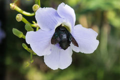Голубой фиолетовый цветок лозы лавра, laurifolia Thunbergia черная черепашка сидит на цветке Стоковые Фотографии RF