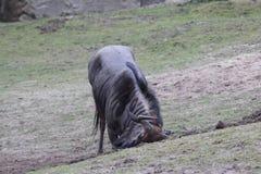 Голубой царапать антилопы гну Стоковая Фотография RF