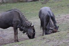Голубой царапать антилопы гну Стоковое фото RF