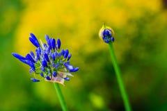 Цветок Lilly Стоковое Изображение