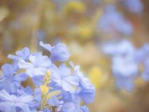 Голубой цветок в саде сделанном с винтажным фильтром, голубым unde цветка Стоковое Изображение RF