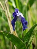 Голубой цветок в солнечности Стоковые Фотографии RF