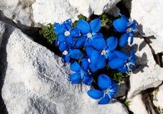 Голубой цветок горы - горечавка - типичный цветок в Джулиане Альпах Стоковое Фото