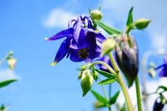 Голубой цветок европейское columbine (Aquilegia vulgaris) в солнечном Стоковые Фотографии RF
