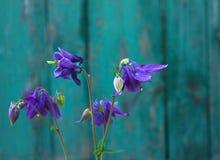 Голубой цветок европейское columbine aquilegia vulgaris конец вверх Стоковое фото RF