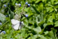 Голубой цветок и белые бабочки на зеленом цвете Стоковое Изображение RF